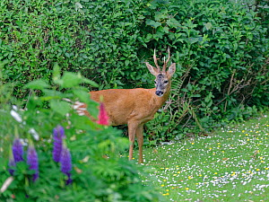 Roe deer (Capreolus capreolus) buck with well developed horns standing on garden lawn carpeted with Common daisies (Bellis perennis) and Buttercups (Ranunculus acris) near flowering Lupins (Lupinus) i...  -  Nick Upton