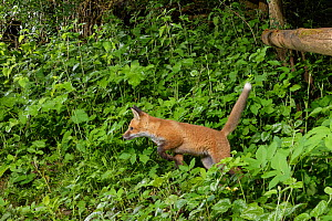 Red fox (Vulpes vulpes) cub running and jumping along a trail near a fence separating a garden from surrounding woodland and meadows at night, Wiltshire, UK, April.  -  Nick Upton
