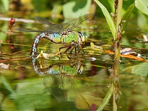 Emperor dragonfly / Blue emperor (Anax imperator) female standing on pond vegetation while dipping her abdomen into the water to lay eggs on submerged stems, Wiltshire, UK, May.  -  Nick Upton