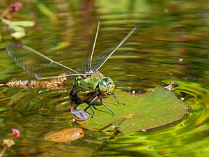 Emperor dragonfly / Blue emperor (Anax imperator) female standing on a Water lily leaf while dipping her abdomen into the water to lay eggs on its submerged stem, Wiltshire, UK, May.  -  Nick Upton