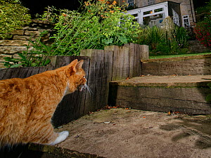 Domestic cat (Felis catus) climbing garden steps at night with a dead mouse in its jaws, Wiltshire, UK, June. Property released.  -  Nick Upton