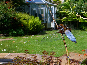 Broad-bodied chaser dragonfly (Libellula depressa) male sunning on a marginal plant stem in a garden pond, Wiltshire, UK, May.  -  Nick Upton