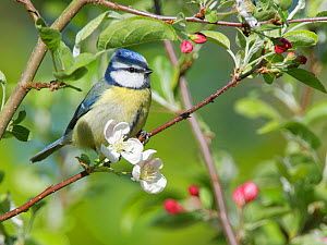Blue tit (Parus caeruleus) perched on a Crab apple (Malus sylvestris) tree branch in garden, Wiltshire, UK, April.  -  Nick Upton