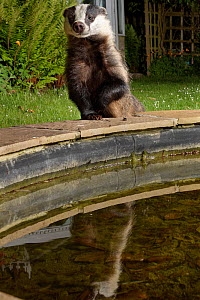 European badger (Meles meles) reflected as it climbs up to the raised edge of a garden pond to drink at night, Wiltshire, UK, May. Property released.  -  Nick Upton