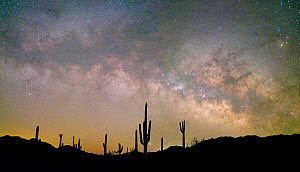Saguaro (Carnegiea gigantea) cacti silhouetted under Milky Way in pre-dawn light. Cabeza Prieta National Wildlife Refuge, Sonoran Desert, Arizona, USA. February 2020.  -  Jack Dykinga
