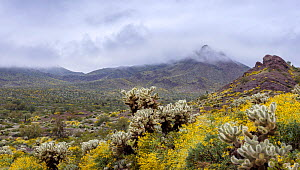 Teddy bear cholla (Cylindropuntia bigelovii) cacti amongst Brittlebush (Encelia farinosa) flowers. Sonoran Desert in stormy morning light. Cabeza Prieta National Wildlife Refuge, Arizona, USA. March 2...  -  Jack Dykinga
