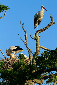 White stork (Ciconia ciconia) pair at nest, first white storks to nest in the UK for 600 years. Part of reintroduction project, Knepp Farm, Sussex, England, UK. June 2020  -  David Woodfall