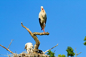 White stork (Ciconia ciconia) at nest, first White storks to nest in the UK for 600 years. Part of reintroduction project, Knepp Farm, Sussex, England, UK. June 2020  -  David Woodfall