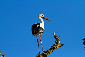 White stork (Ciconia ciconia) perched near nest, first White storks to nest in the UK for 600 years. Part of reintroduction project, Knepp Farm, Sussex, England, UK. June 2020  -  David Woodfall