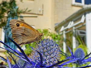 Meadow brown butterfly (Maniola jurtina) nectaring on Eryngium (Eryngium sp.) flowers in a suburban garden close to a house, Bradford-on-Avon, Wiltshire, UK, June. Property released.  -  Nick Upton