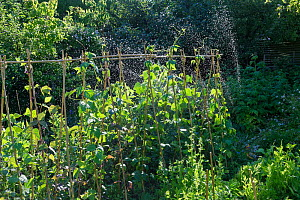 Row of French beans (Phaseolus vulgaris) and other vegetables being watered with a rotating sprinkler in an organic suburban garden with a mix of fruit, vegetables, cultivated and wild flowers, Bradfo...  -  Nick Upton