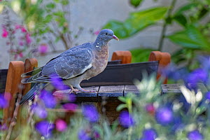 Wood pigeon (Columba palumbus) perched on a garden table between a flowerbed and a suburban house, Bradford-on-Avon, Wiltshire, UK, June.  -  Nick Upton