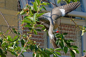 Wood pigeon (Columba palumbus) juvenile hanging upside down from a thin twig to pluck a Morello cherry (Prunus cerasus) from a tree in a suburban garden close to a house, Bradford-on-Avon, Wiltshire,...  -  Nick Upton