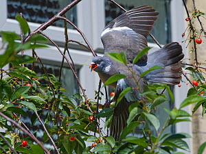Wood pigeon (Columba palumbus) swallowing a Morello cherry (Prunus cerasus) plucked from a tree in a suburban garden close to a house, Bradford-on-Avon, Wiltshire, UK, June.  -  Nick Upton