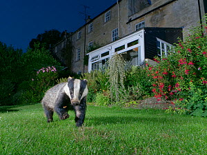 European badger (Meles meles) foraging on a garden lawn at night, digging for insect grubs, Wiltshire, UK, June. Property released.  -  Nick Upton