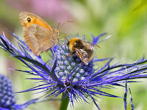 Early bumblebee (Bombus pratorum) and Meadow brown butterfly (Maniola jurtina) nectaring on Eryngium (Eryngium sp.) flowers in a suburban garden, Bradford-on-Avon, Wiltshire, UK, June.  -  Nick Upton