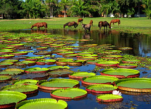 Horses cool off in pond full of giant water lily pads (Victoria / Victoria amazonica), up to 1m wide. Pantanal wetlands, Brazil, South America.  -  Brandon Cole