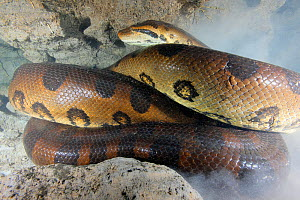 Green anaconda (Eunectes murinus) female, 22 feet long, Brazil. South America.  -  Brandon Cole