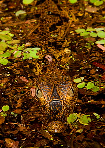 Spectacled caiman (Caiman yacare), juvenile resting at river surface at night. Amazon River, Brazil, South America.  -  Brandon Cole