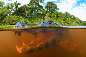 Spectacled caiman (Caiman yacare), split level view in the Pantanal wetlands region, Brazil, South America.  -  Brandon Cole