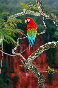 Red-and-green macaw (Ara chloropterus), at Buraco das Araras, a large sinkhole in Brazil, South America.  -  Brandon Cole