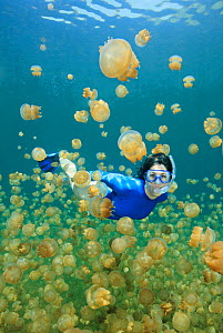 Diver with Golden jellyfish (Mastigias papua), Jellyfish Lake, Palau. Model released.  -  Brandon Cole