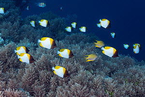 Pyramid butterflyfish (Hemitaurichthys polylepis), schooling along reef edge over soft coral. Palau, Pacific Ocean.  -  Brandon Cole