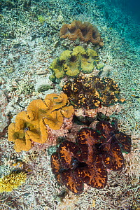 Giant clams (Tridacna gigas) each nearly 3 feet wide, growing side by side in the shallows. Local people are raising these for consumption. Palau, Pacific Ocean.  -  Brandon Cole
