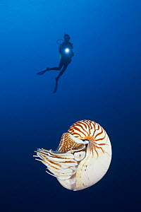 Palau chambered nautilus (Nautilus belauensis), a primitive deepwater cephalopod, and scuba diver in background. Palau, Pacific Ocean.  Model released.  -  Brandon Cole