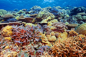 Healthy coral reef with impressive hard coral coverage, showing many species of table and branching corals. Palau, Pacific Ocean.  -  Brandon Cole