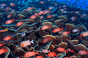 Soldierfish (mixed species) aggregating around expansive colony of Lettuce Coral (Turbinaria mesenterina) in early morning. The few larger, lighter colour soldiers with dark tips are Shadowfin soldier...  -  Brandon Cole