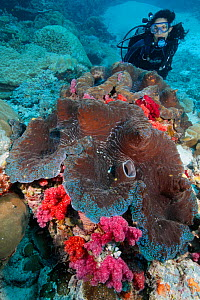 Giant clams (Tridacna gigas) with diver, nearly 3 feet wide, overgrown with soft coral. Palau, Pacific Ocean.  -  Brandon Cole