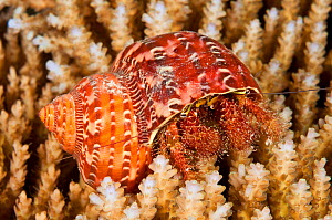 Hairy netted hermit crab (Aniculus retipes), Palau, Pacific Ocean.  -  Brandon Cole