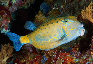 Yellow boxfish (Ostracion cubicus), intermediate adult phase. Palau, Pacific Ocean.  -  Brandon Cole