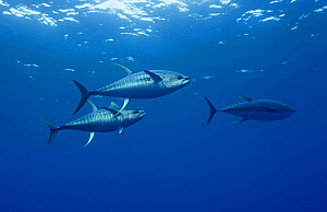 Yellowfin tuna (Thunnus albacores), two large (1.2 meter long) males with spawning coloration and banded pattern chasing a female (at right) just before she releases eggs for them to fertilize. Baja,...  -  Brandon Cole
