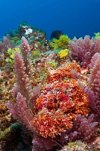 Stone scorpionfish (Scorpaena plumieri mystes), resting among algaes on rocky reef. Baja, Mexico, Pacific Ocean.  -  Brandon Cole