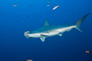 Scalloped hammerhead shark (Sphyrna lewini). Baja, Mexico, Pacific Ocean.  -  Brandon Cole