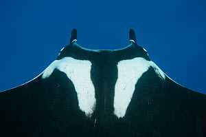 Manta ray (Manta birostris), view from above looking down onto dorsal suface behind head. Baja, Mexico, Pacific Ocean.  -  Brandon Cole