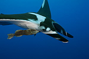 Manta ray (Manta birostris) with Remora attached underneath. Baja, Mexico, Pacific Ocean.  -  Brandon Cole