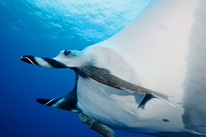 Manta Ray (Manta birostris) with two big remoras (Remora sp.) attached to the underside of the manta. Baja, Mexico, Pacific Ocean.  -  Brandon Cole