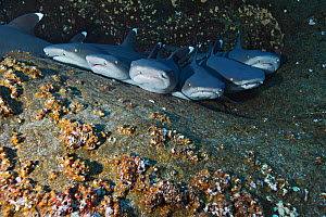 Whitetip reef sharks (Triaenodon obesus) resting side by side on reef ledge. Baja, Mexico, Pacific Ocean.  -  Brandon Cole