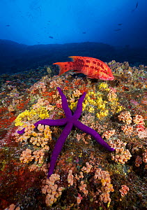 Mexican hogfish (Bodianus diplotaenia) swims overtop large sea star (Linckia sp.) along reef wall covered with barnacles, sponges and cup corals (Tubastraea coccinea). Baja, Mexico, Pacific Ocean.  -  Brandon Cole