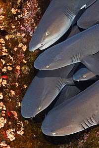 Whitetip reef sharks (Triaenodon obesus) stacked on top of each other, resting on the reef. Baja, Mexico, Pacific Ocean.  -  Brandon Cole