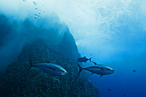 Yellowfin tuna (Thunnus albacores), two large (1.2 meter long) adults near offshore islet Roca Partida. Baja, Mexico, Pacific Ocean.  -  Brandon Cole