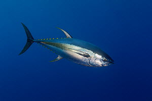 Yellowfin tuna (Thunnus albacores) Baja, Mexico, Pacific Ocean.  -  Brandon Cole