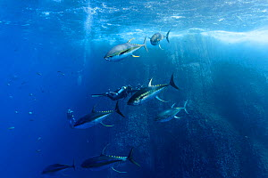 Yellowfin tuna (Thunnus albacores), large (1.2 meter long) males with spawning coloration and banded pattern chasing females, just before they release eggs for them to fertilize. Baja, Mexico, Pacific...  -  Brandon Cole