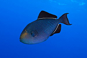 Black triggerfish (Melichthys niger), also called Black Durgon. Baja, Mexico, Pacific Ocean.  -  Brandon Cole