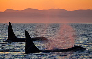 Orca whales (Orcinus orca), three adult male resident killer whales travelling together at sunset. British Columbia, Canada, Pacific Ocean.  -  Brandon Cole