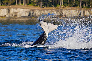 Orca whale (Orcinus orca) tail slapping, likely communicating with other nearby killer whales. British Columbia, Canada, Pacific Ocean.  -  Brandon Cole