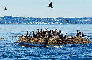 Orca Whale (Orcinus orca) hunting harbor seals (Phoca vitulina) amongst Cormorant birds (Phalacrocorax sp.). British Columbia, Canada, Pacific Ocean.  -  Brandon Cole